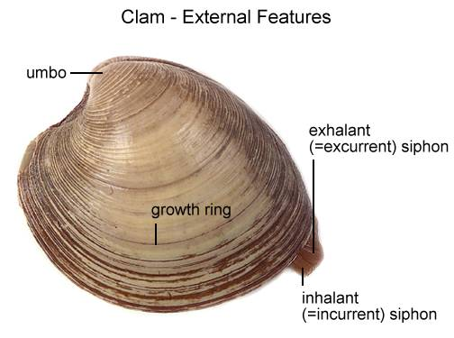 Clam Dissection -