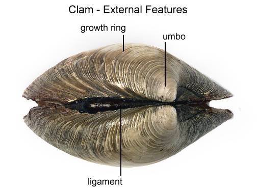 Clam Dissection
