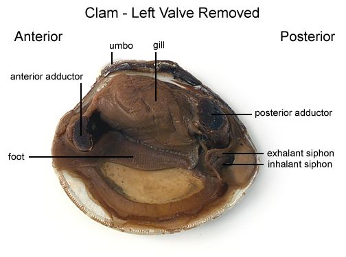 Clam Dissection Mussel Dissection Anus