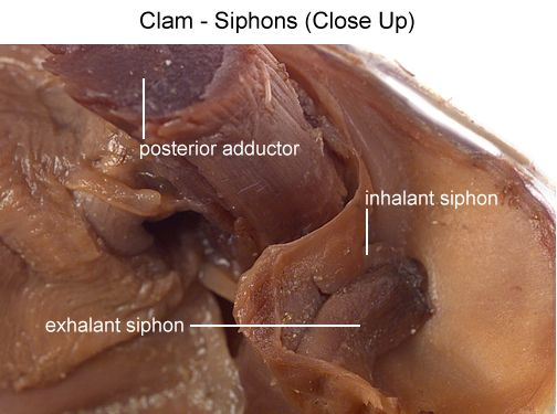 Clam Diagram Visceral Mass