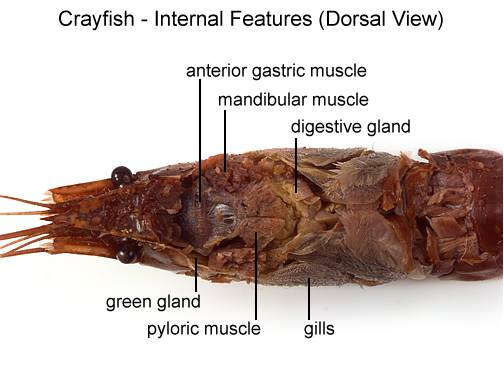 Crayfish dissection -