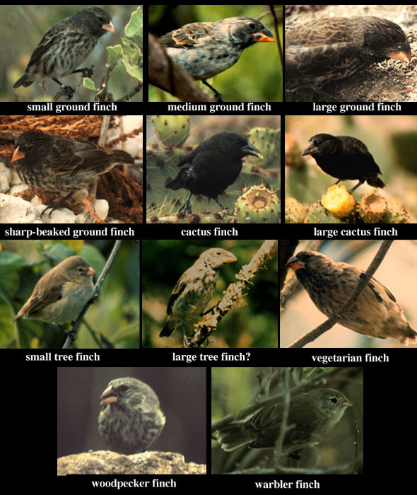 Galapagos finch species varied by nesting site, beak size, and eating ...