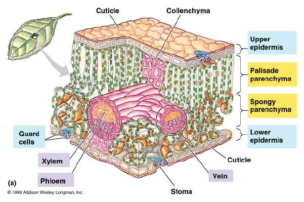 Plant Structure - BIOLOGY JUNCTION