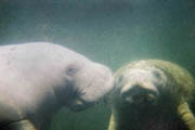 Manatee photograph by Greg Geffner