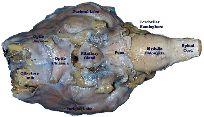 Pickled Sheep Brain-superficial inferior view