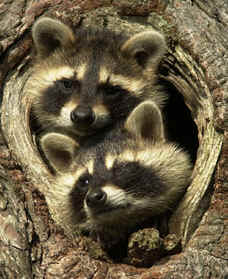 raccoon photograph