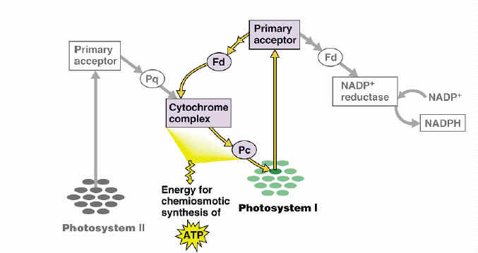 Ap Lecture Guide 10 - Photosynthesis