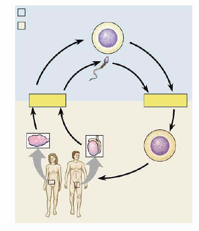 Human life cycle meiosis - photo#16