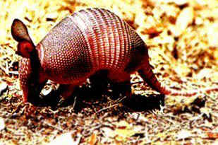 picture of a cute armadillo