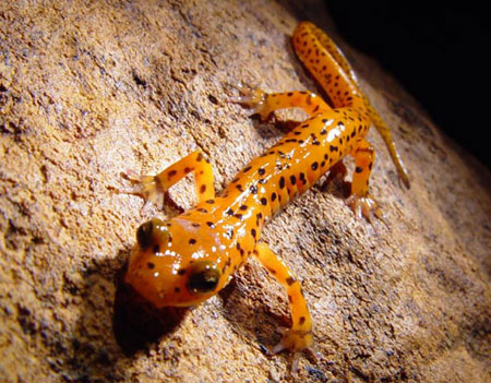 an introduction to the salamander Salamander species listed as injurious wildlife under 50 cfr 1614 resources from the introduction, establishment, and spread of the chytrid fungus.