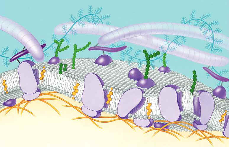 cellmembrane pptQ bI - Biology Junction