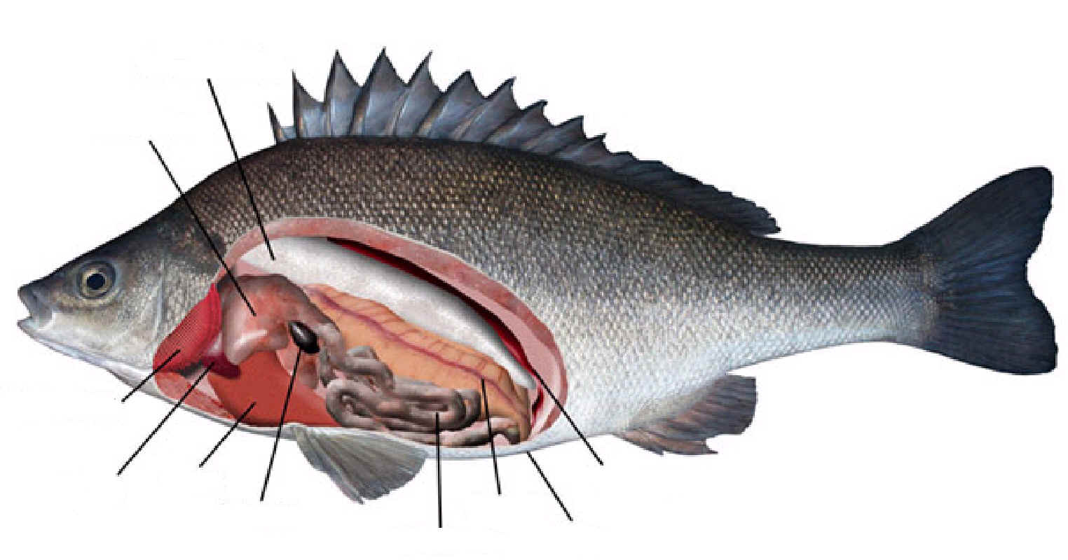 Fish Internal Organs Diagram http://punchinn.com/24/fish-internal-diagram