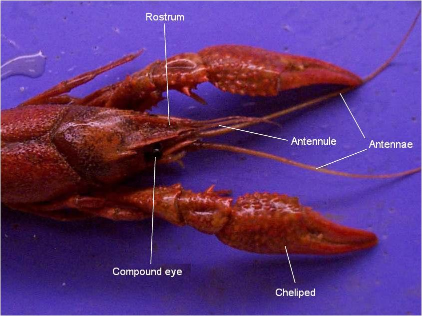 Crayfish dissection worksheet quizlet