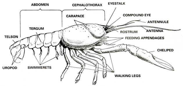 {Crayfish dissection – Crayfish Dissection Worksheet