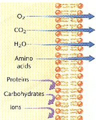 why is the membrane selectively permeable