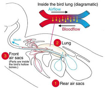 Diagram of a bird's lung and air sac system, and countercurrent exchange