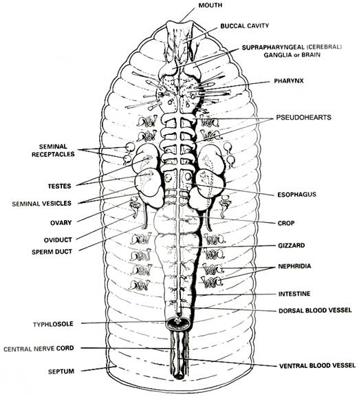 Earthworm Internal Anatomy Diagram