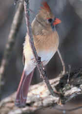 Female Northern Cardinal Photograph