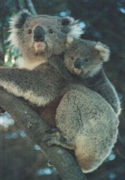 Koala and joey. Photograph © Mick Stevic.