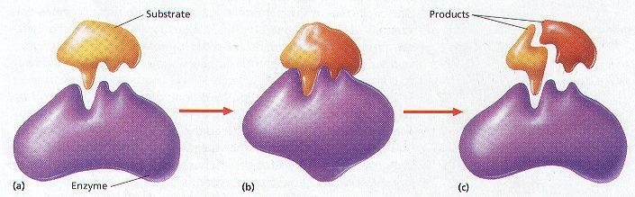 [Image: lockandkeyenzymes6.jpg]