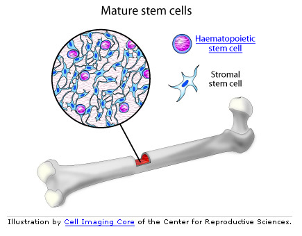 bone marrow stem cell graphic
