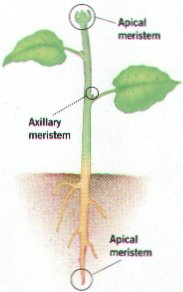 Seed Plant Structure & Function Meristems