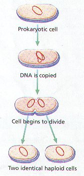 stages of cellular reproduction