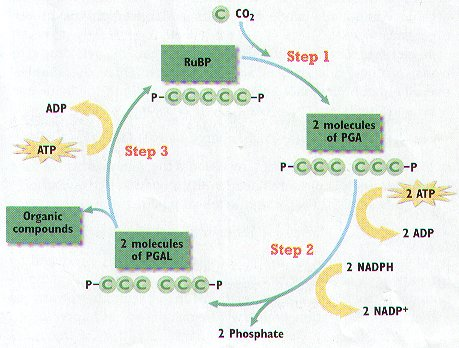 steps in photosynthesis Photosynthesis is the set of chemical reactions plants use to manufacture their own food this study guide will aid you to learn the essential steps of photosynthesis.