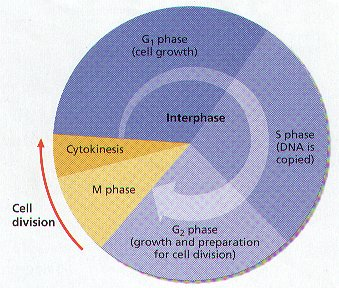 simple interphase drawing  Cell division includes mitosis