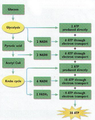 cellular respiration in sports