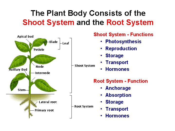Seed plants contain 2 types of vascular tissue (xylem & phloem) to ...