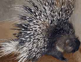 Seh - Porcupine - Photograph