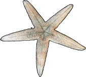 Underside of a Sea Star