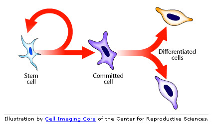 illustration of stem cells to differentiated cells