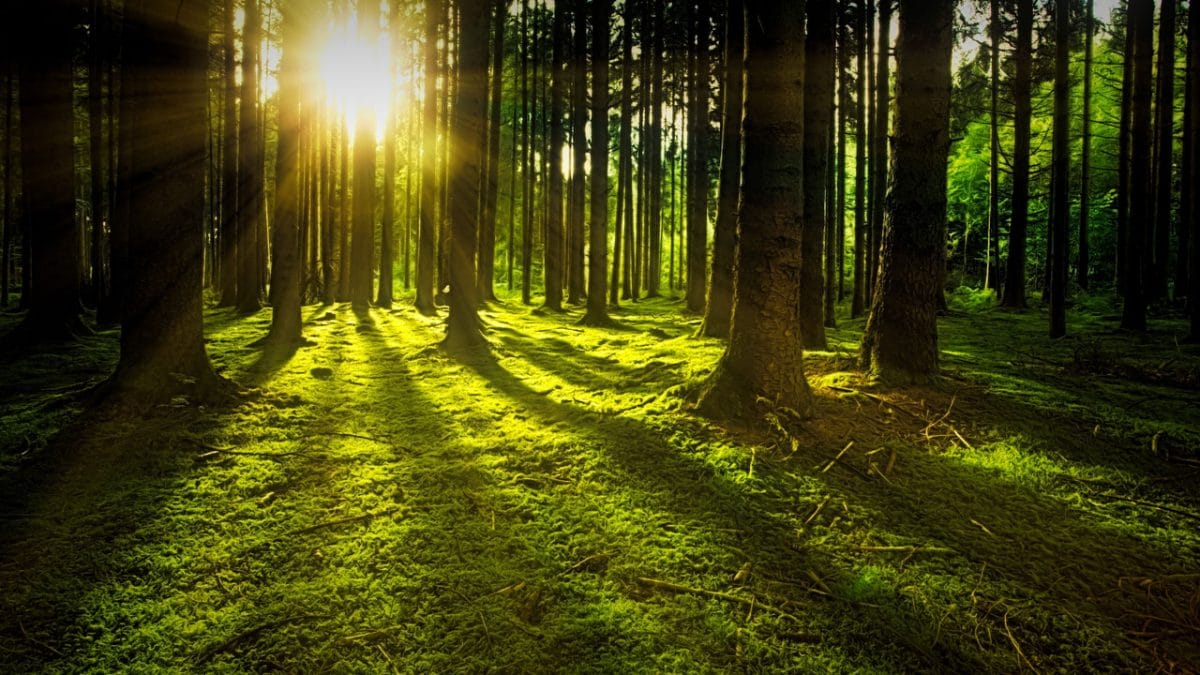 forests with sunrays