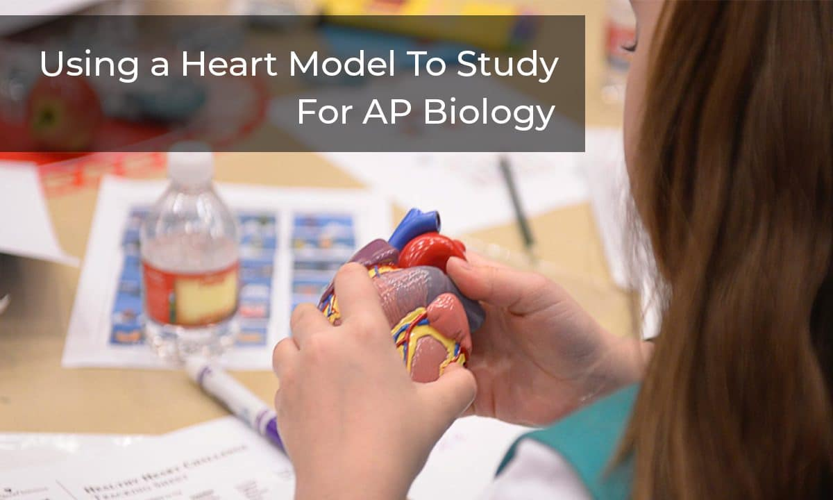 Using a Heart Model to Study for AP Biology – Explore On a Deeper Level