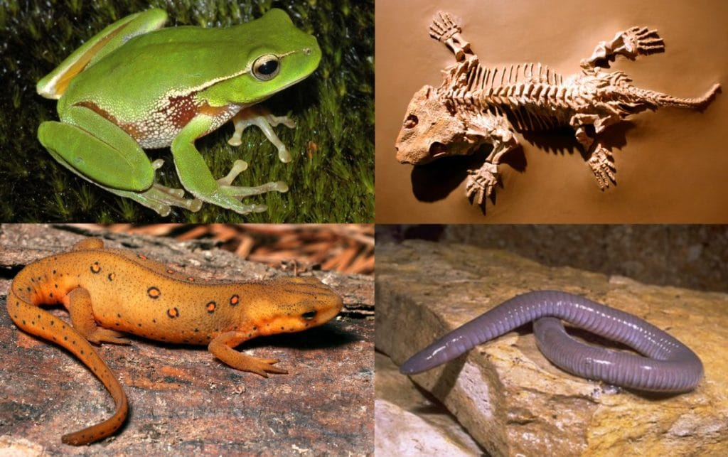 collage of caecellian, salamander, frog, and skeleton of an amphibian