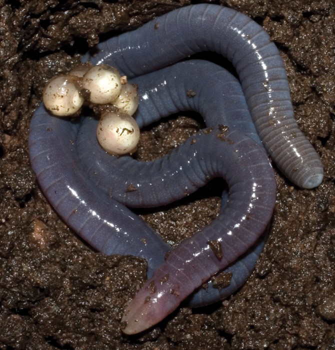 Caecilian: one of the types of amphibian with eggs in wet soil