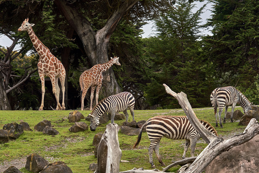 Zebra and a Giraffe on wild life