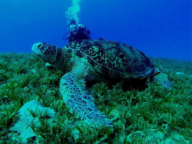 A marine biologist looking at a sea turtle under water